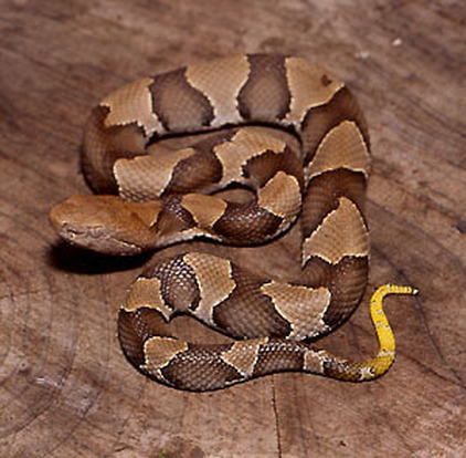 Reproduction Development The Northern Copperhead Snake
