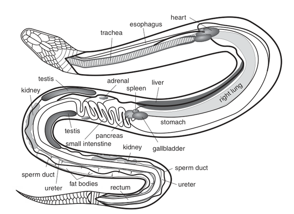 Physiology The Northern Copperhead Snake Resource
